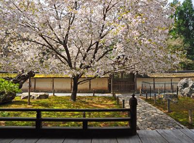 メイン写真 常照皇寺の御車返しの桜 2012年4月25日 午前10時配信 常照皇寺の御車返しの桜